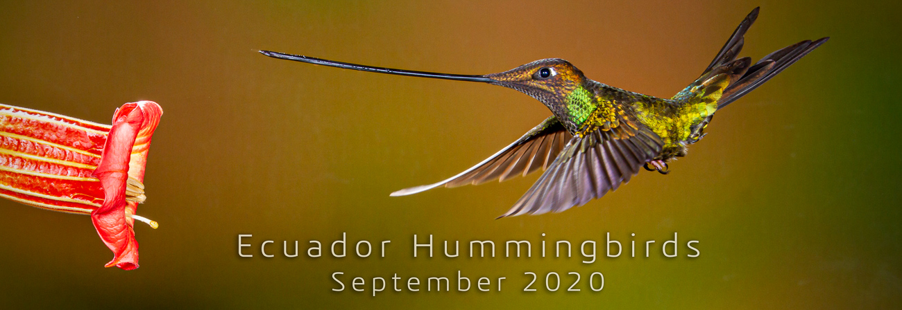 Ecuador Sword-billed Hummingbird