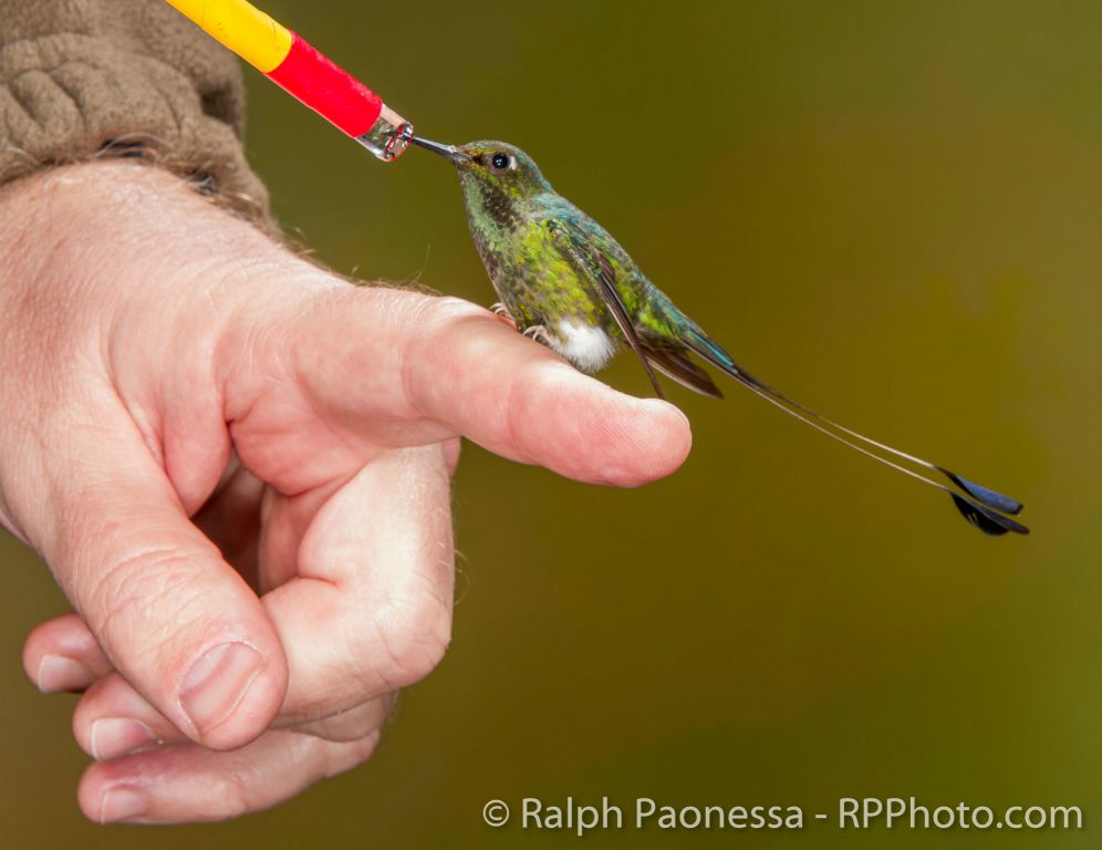 Ralph Paonessa and Booted Racket-tail