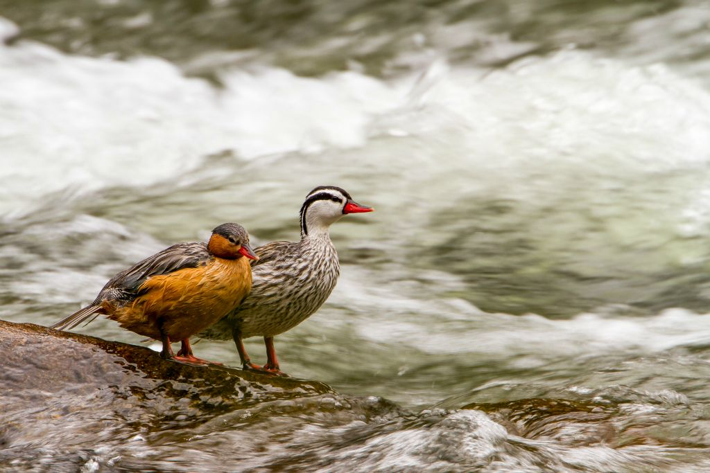Torrent Ducks
