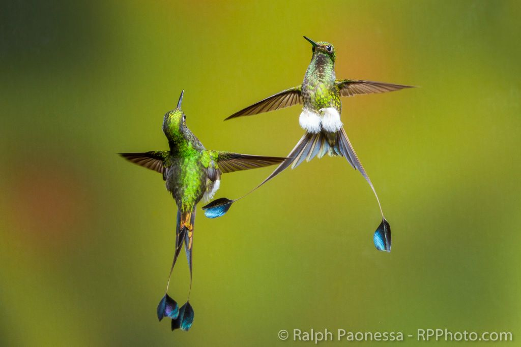 Booted Racket-tails facing off