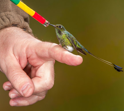Lending a helping hand to a Booted Racket-tail.