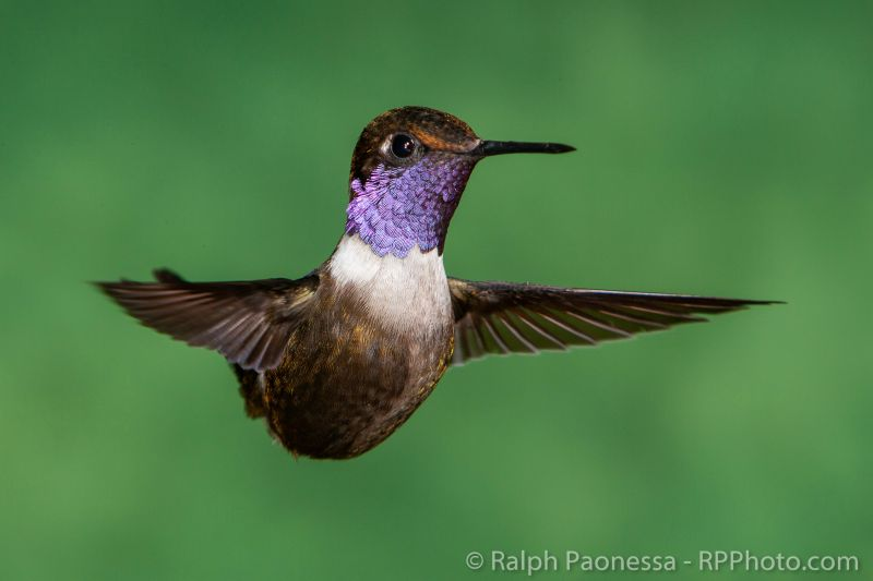 The iridescent gorget of a Purple-throated Woodstar.