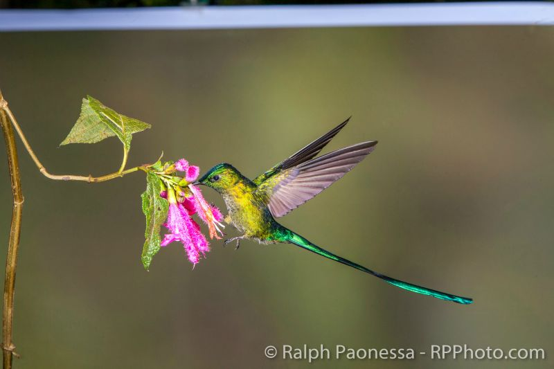 The uncropped image of the Long-tailed Sylph visiting the flower.
