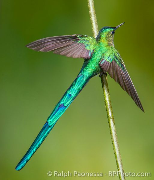 A male Long-tailed Sylph strikes a handsome and iridescent pose.