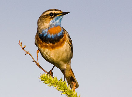 Bluethroat, Nome, Alaska